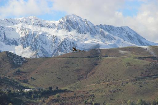 Vautour en vol dans les Pyrénées