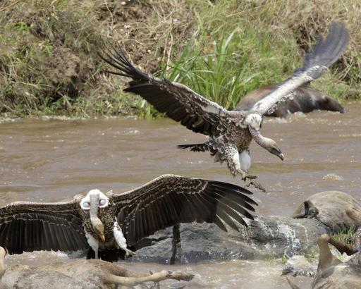 Vautours de Rüppel en bord de rivière