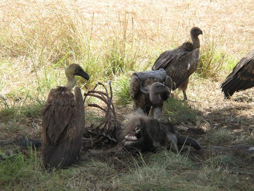 Vautours mangeant une carcasse