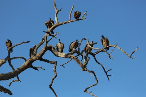 Vautours perchés dans un arbre