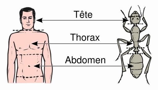 Ventre d'homme et de fourmi