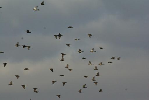 Vol de grives litornes en janvier