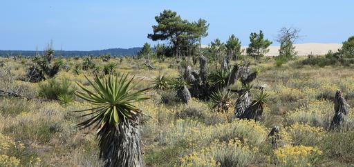 Yuccas, immortelles et pins maritimes au Mimbeau
