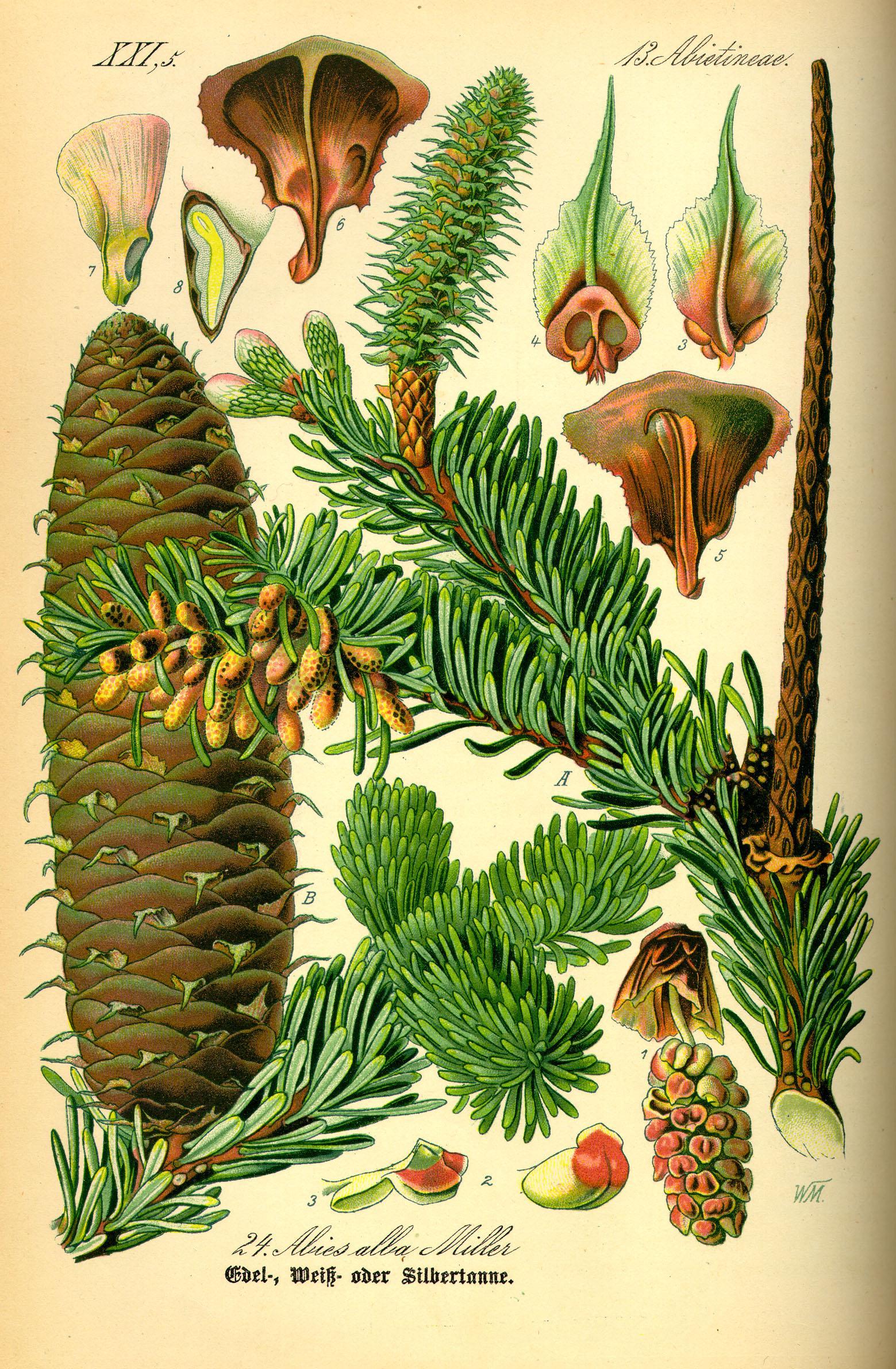 planche-botanique-du-sapin-536bbde7.jpg