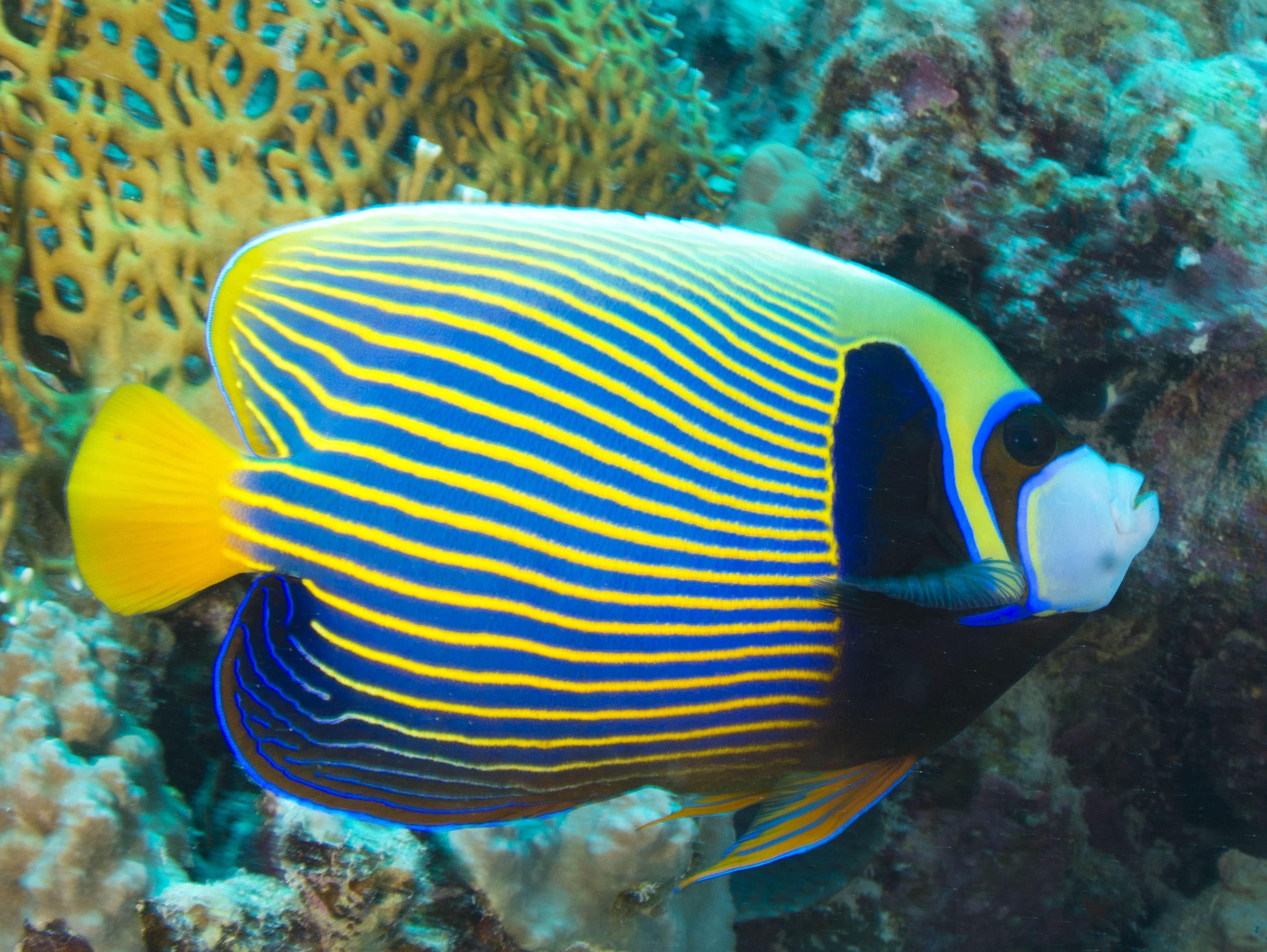 demoiselle bleue poisson