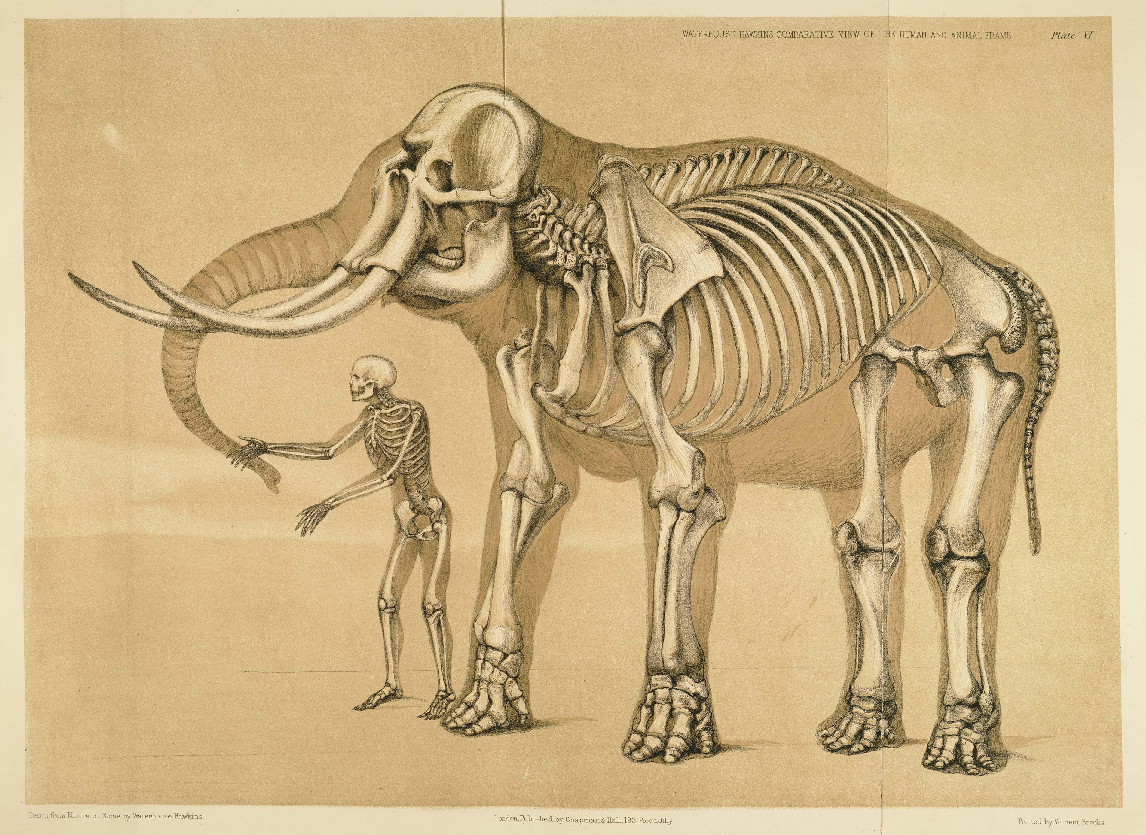 Squelettes d'homme et d'éléphant
