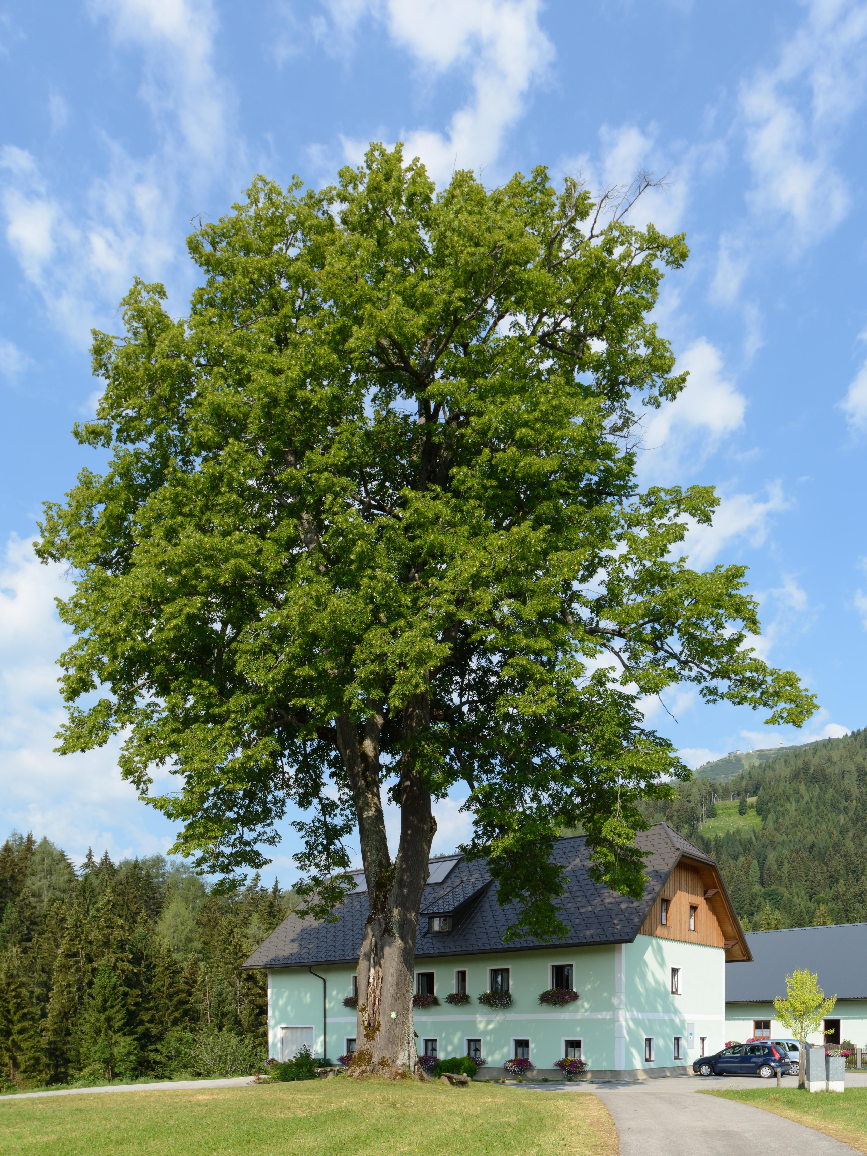 Ressources ducatives libres les - Tilleul a grandes feuilles ...